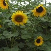 Budget Friendly Bird Feeding Tips, plant sunflowers for the birds.