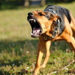 An aggressive dog.