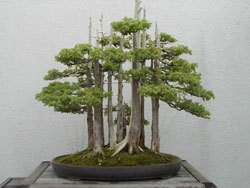 multiple bonsai trees