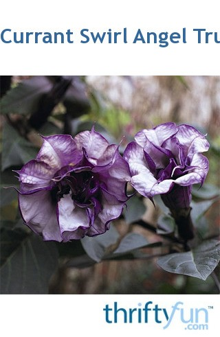 Black Currant Swirl Angel Trumpet Datura Thriftyfun