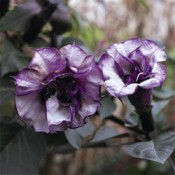 Garden: Black Current Swirl Angel Trumpet