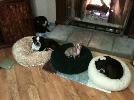 Three Boston Terriers on their beds in front of the fire.