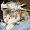 In Memory Of Pixie (Cat)- a cat with a bird on her head.