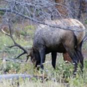 Large Elk