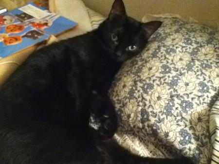 Skeeter (Black Shorthair Cat)