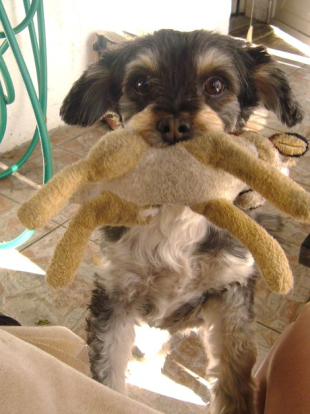 Use Stuffed Animals As Dog Toys - a dog holding a stuffed animal in his mouth.