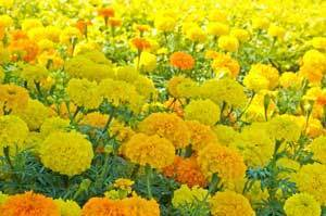 Yellow and orange marigolds