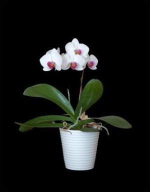 White and Pink Orchid in white pot