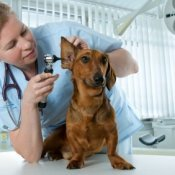 Veterinarian looking at a dog.
