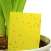 Insects on Yellow Paper in a houseplant
