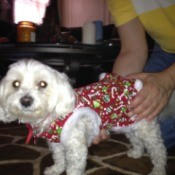 Lulu ( white Maltese dog) wearing a red dog coat.