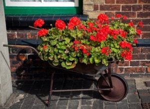 Old wheelbarrow full of red geraniums.