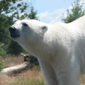 Polar bear at the Columbus Zoo in Ohio.