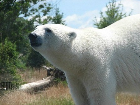 A Polar bear at the Columbus Zoo in Ohio.
