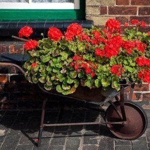 Geraniums in old wheelbarrow planter.