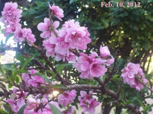 A tree flowering in late winter in Moorpark, CA.
