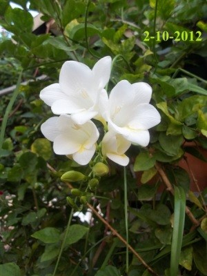 A plant with white flowers blooming in late winter, in Moorpark, CA.