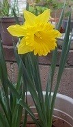 A yellow daffodil in bloom, in Moorpark, CA.