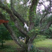Jack Russel and Rat Terrier dogs standinog up in the branches of a large tree
