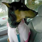 Doberman Pincher wearing shirt in car