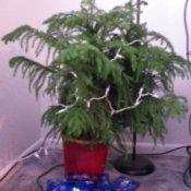 Norfolk pine when healthy.