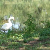 Scenery: A swan at Audubon Park, New Orleans
