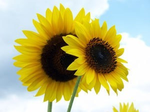 Two sunflowers against a blue sky.