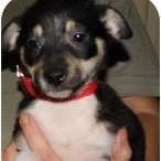 Tricolor puppy closeup.