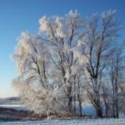 Snowy Trees (Pelican Rapids, MN)
