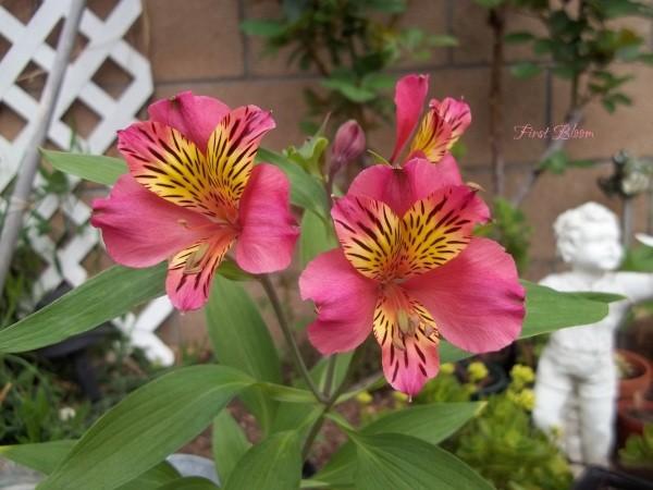 Alstroemeria (Moorpark, CA)