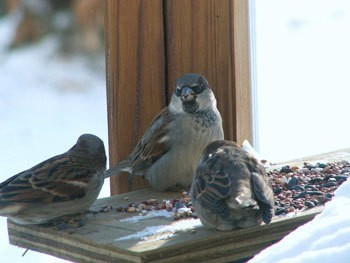 Three birds eating seed on a porch railing.