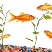 Gold Fish Tank
