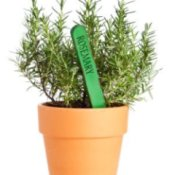Potted Rosemary plant.