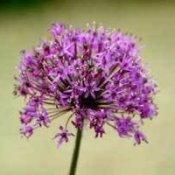 Purple allium flower.