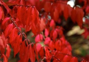 Burning bush, fall foliage.