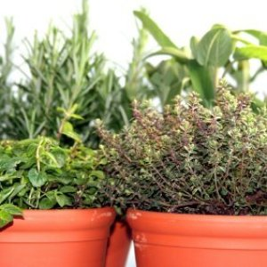 Herbs growing in containers.