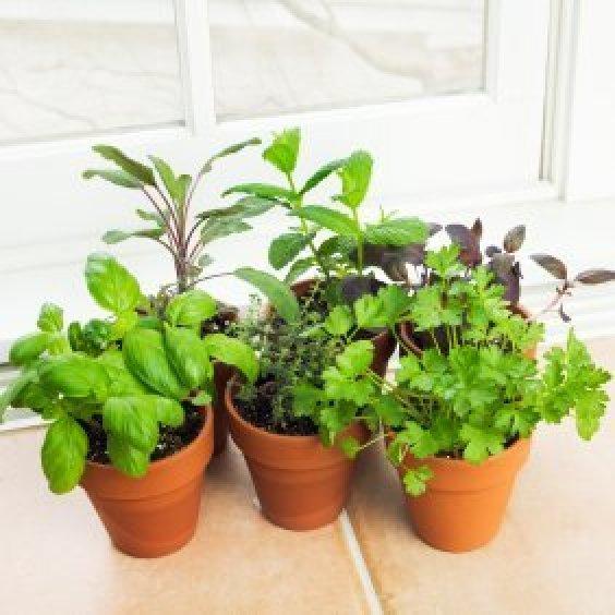 Growing herbs indoors thriftyfun indoor herb garden workwithnaturefo