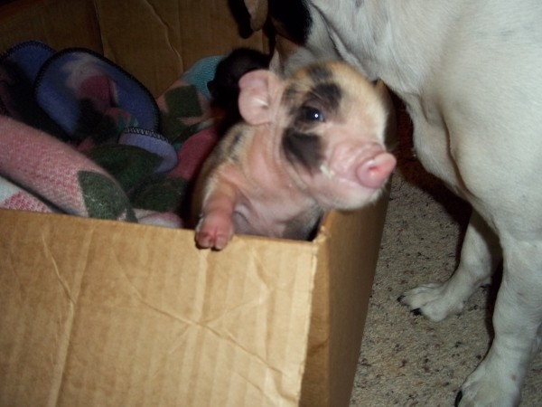 John-C And Little Girl (Piglets)