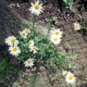 Planting daisy flowers.