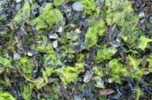 Composting seaweed.