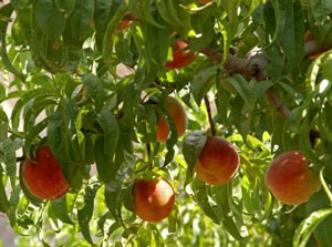 Peaches on a tree.