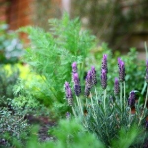Perennial herb garden.