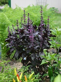 Spice Up Your Garden With Herbs