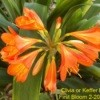 Spring Blooms (The Path Garden, Moorpark, CA) - Orange Lily