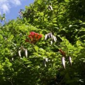 Trumpet Vine Seed Pods