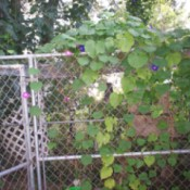 Morning glory growing around a dog kennel.