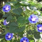 A blue morning glory plant with several blooms.