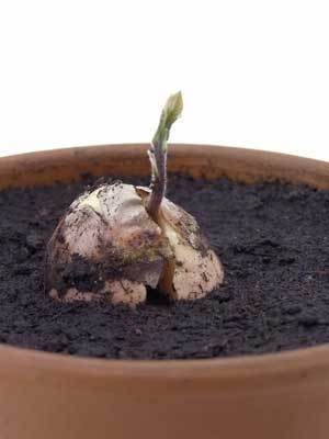 Growing an avocado from a seed.