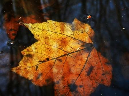 Fall Leaf (Annapolis, MD)