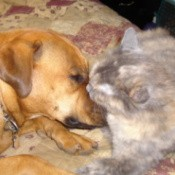 dog and cat lying nose to nose